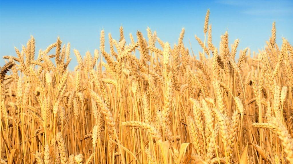 6783174 cool wheat wallpaper