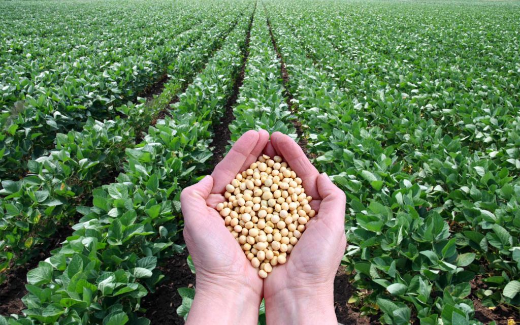 as soybeans